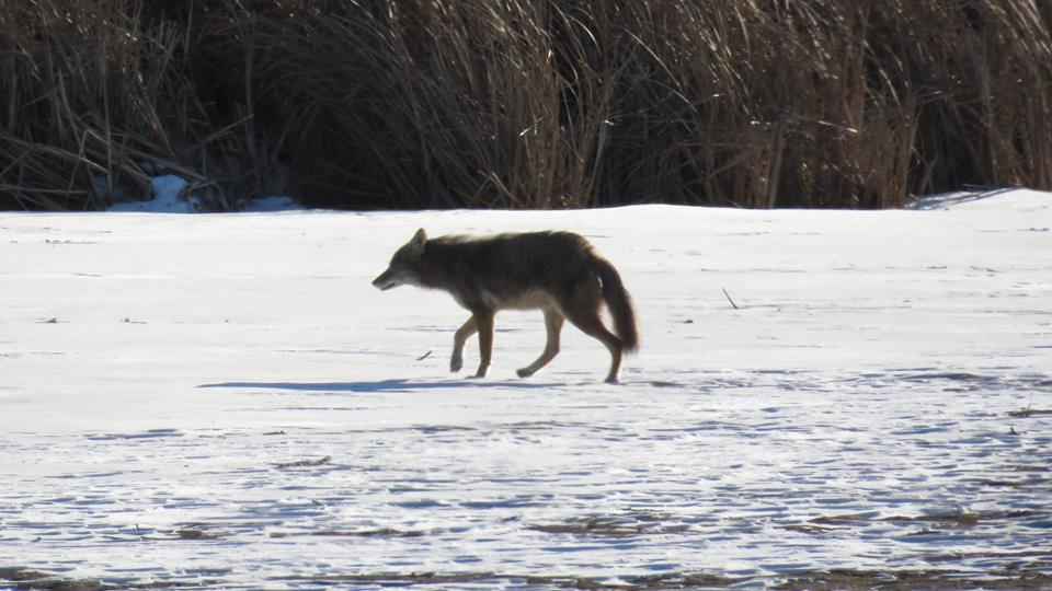 coyote on lake